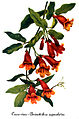 Bignonia capreolata, by Mary Vaux Walcott.jpg
