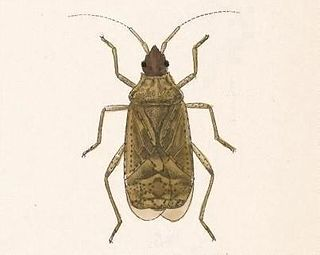 <i>Aufeius</i> genus of insects