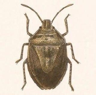 <i>Hymenarcys</i> Genus of true bugs