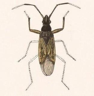 <i>Ligyrocoris</i> Genus of true bugs