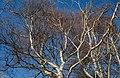 Birch tops in Norrkila.jpg