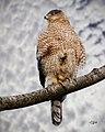 Birds Hawks (17705827666).jpg
