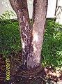 Bischofia javanica Blume (AM AK301758-1).jpg