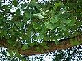 Blätter des Ginkgo.JPG