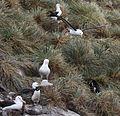 Black-browed Albatross flying over West Point Island (5545359501).jpg