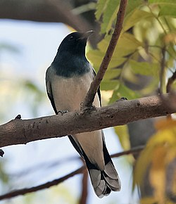 Black-headed Cuckooshrike (Coracina melanoptera) at Sindhrot near Vadodara, Gujrat Pix 110.jpg