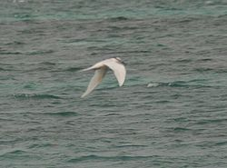 Black-napped Tern.jpg