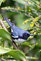 Black-throated Blue Warbler (Setophaga caerulescens) (8082119400).jpg