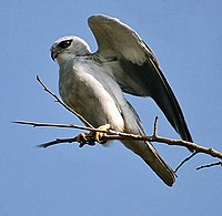 Black-winged Kite I2w IMG 9890.jpg