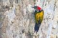 Black Rumped Woodpecker, Salt Lake Canal Side, Kolkata 4.jpg
