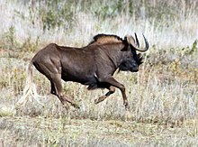 3ccd04fdab2c7d Wildebeest - Wikipedia