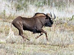 Wildebeest - Black wildebeest