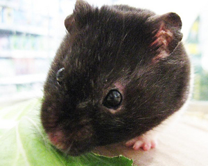Syrian hamster variations - A male black hamster