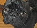 Black pug.jpg