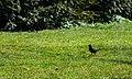 Blackbird Amsel (205627527).jpeg