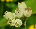Bladder Campion (Silene vulgaris) - London, Ontario.jpg