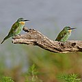 Blue-cheeked bee-eater, Merops persicus, Chobe National Park (37871563875).jpg