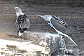Blue-footed Boobies (47725989782).jpg