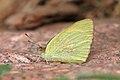 Blue-spotted arab (Colotis phisadia) underside.jpg