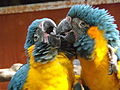 Blue-throated Macaws preening 04.jpg