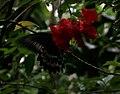 Blue mormon (Papilio polymnestor) W IMG 2454.jpg