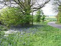 Bluebells, Crackley Lane - geograph.org.uk - 414959.jpg