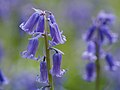 Bluebells (detail) (14096002331).jpg