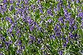 Bluebells Roydon Woods.jpg
