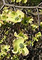 Blumen-Hartriegel (Cornus florida) 1.jpg