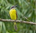 Boat-billed flycatcher.jpg