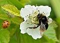Bombus lapidarius - Rubus caesius - Valingu.jpg