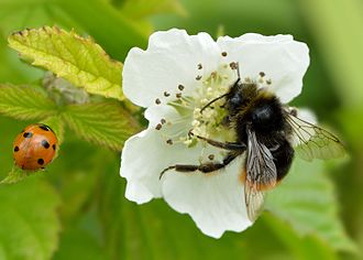Dewberry - Rubus caesius pollination by red-tailed bumblebee