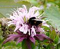 Bombus terrestris - Flickr - gailhampshire (10).jpg