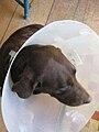 Bonnie after surgery.jpg