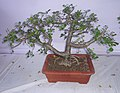 Bonsai of Omeofera.jpg