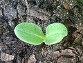 Borago officinalis seedling, a few days after sprouting (cropped).jpg