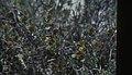 Borrichia arborescens, Sea Ox-eye. Little San Salvadore (38839613622).jpg