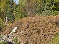 Botanischer Garten Berlin-Dahlem 10-2014 photo18 Astragalus creticus.jpg