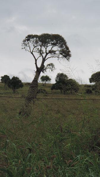 File:Bottle tree, Woolthorpe Road, Lonesome Creek, 2014.JPG
