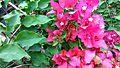Bougainvillea glabra of Bangladesh 17.jpg