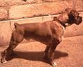 Boxer aleonado europero LOE y pedigree propiedad de sergio 1981 @hotmail.com España.jpg