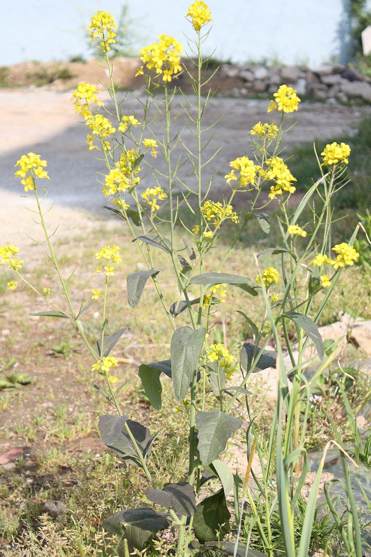 mustard - Wiktionary