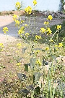 220px-Brassica_juncea_var._juncea.JPG