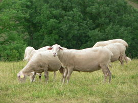 Lacaune sheep