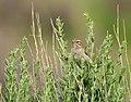 Brewer's Sparrow Seedskadee NWR (18476652496).jpg
