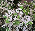 Breynia disticha Minima 1.jpg