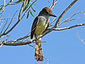 Brown-crested Flycatcher RWD.jpg