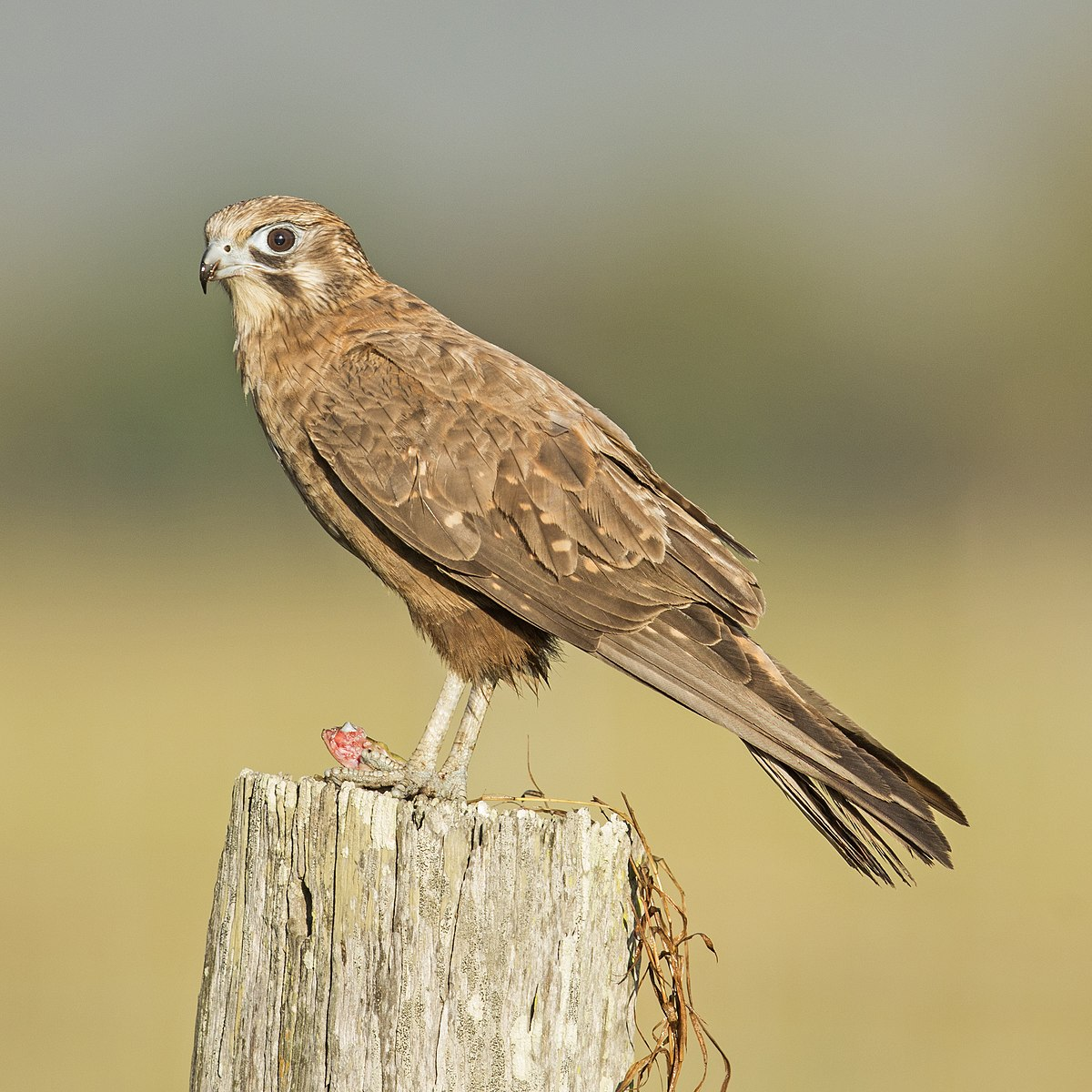 Brown falcon - Wikiped...