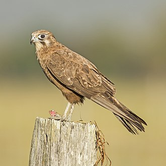 Brown falcon - At Ingham, Queensland, Australia