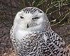 Bubo scandiacus - Karlsruhe Zoo.jpg